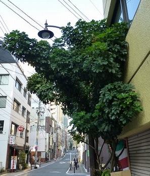 カポックの木.jpg